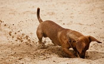 Собака ест землю причины